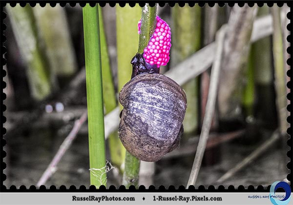 Channeled Apple Snail laying eggs at Lake Murray, San Diego, California
