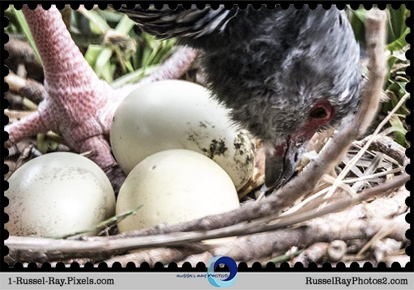 Southern Screamer and three eggs at the San Diego Zoo