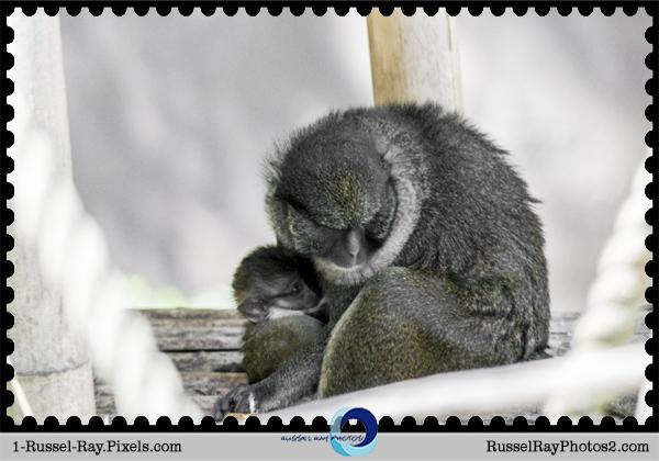 Allen's swamp monkey mama & her baby