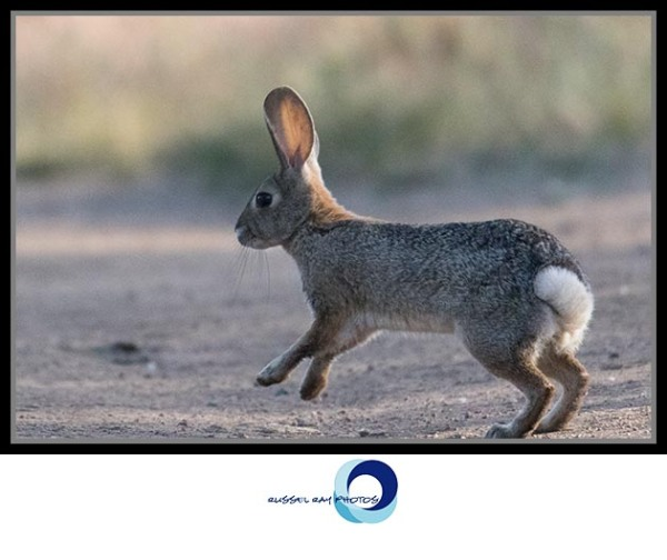 Hippity-hopping Peter Cottontail, Ramona Grasslands