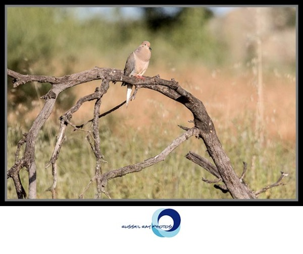 Mourning dove, Ramona Grasslands