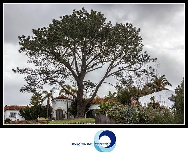 Torrey Pine in Del Mar, California
