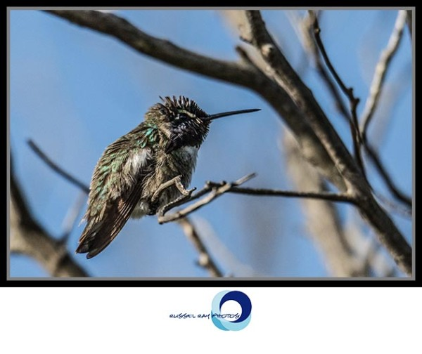 Immature hummingbird, Ramona Grasslands