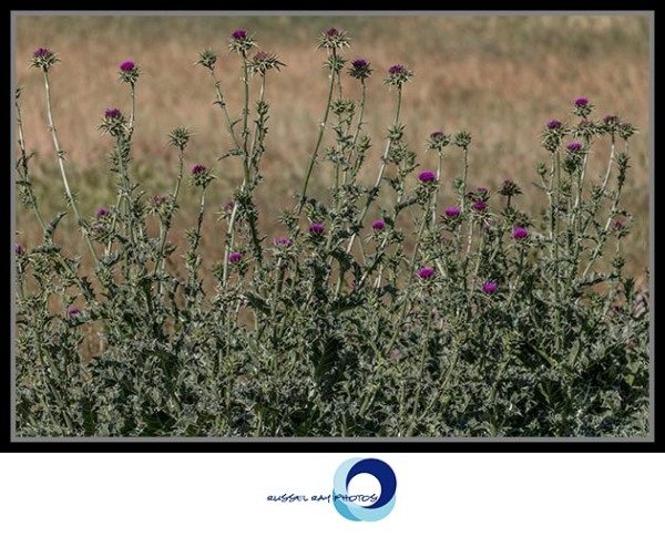 Patch of thistle, Ramona Grasslands