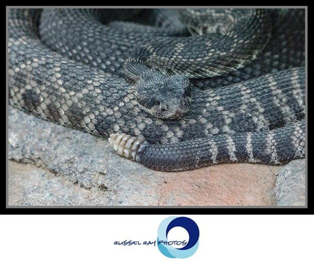 Rattlesnake at the San Diego Zoo