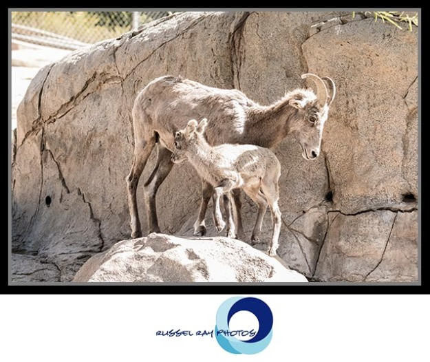 Mama and baby bighorn sheep at the San Diego Zoo Safari Park