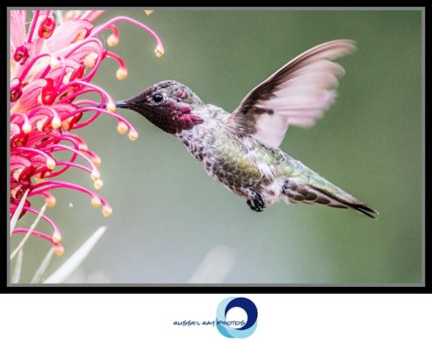 Hummingbird visiting a grevillea