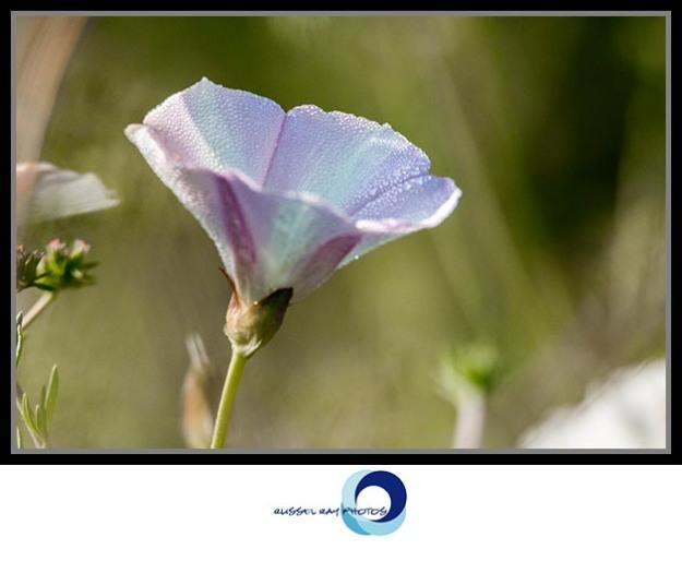 Unknown flower dew drops