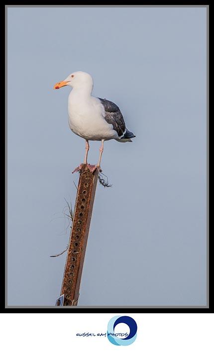 Sentinel Seagull
