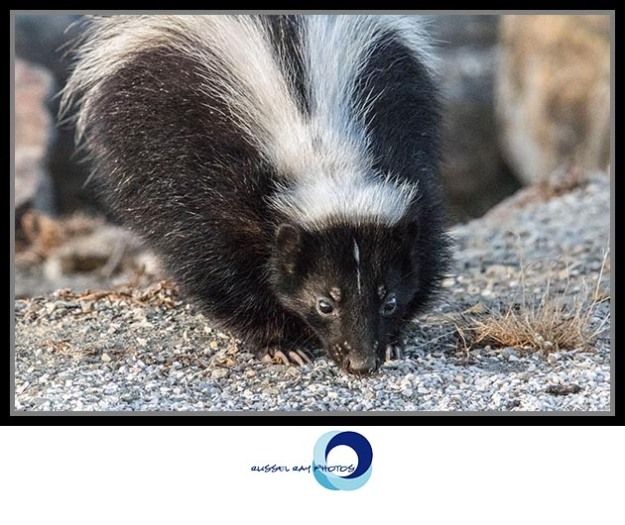Skunk at the San Diego Jetty