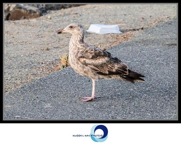 One-legged bird at the San Diego Jetty