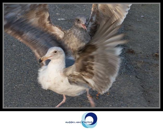 Seagulls running
