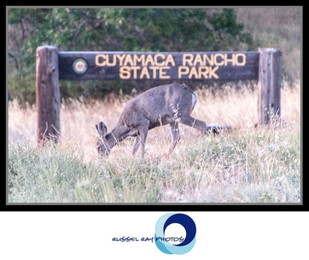 Deer in Cuyamaca Rancho State Park