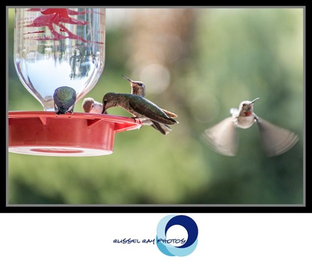 Hummingbirds at The Birdwatcher in Julian