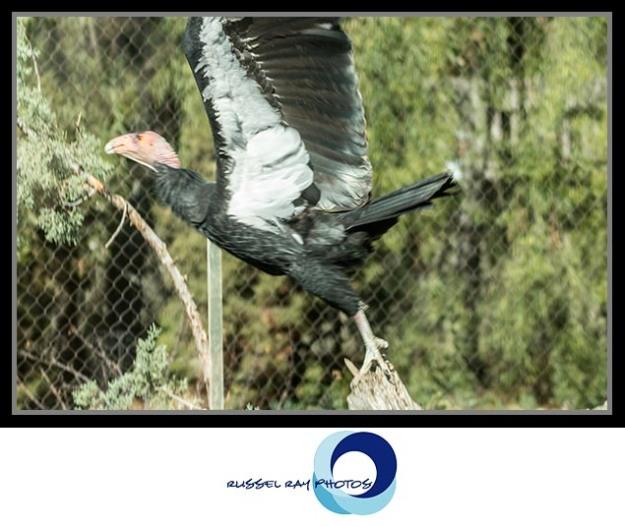 Ccalifornia condor