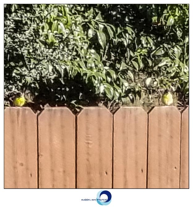 Two yellow birds watching construction