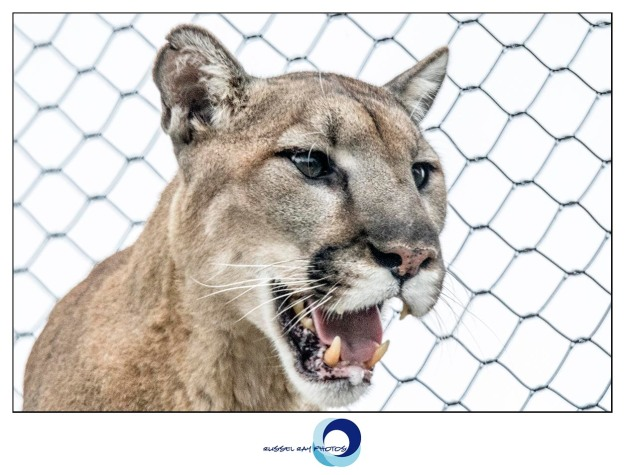 Mountain lion at the San Diego Zoo