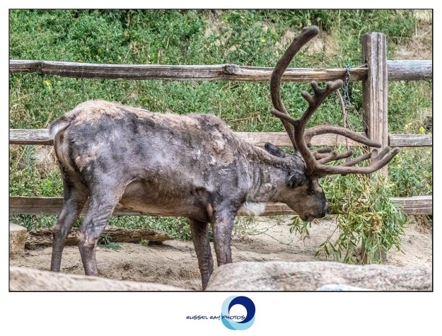 Reindeer at the San Diego Zoo