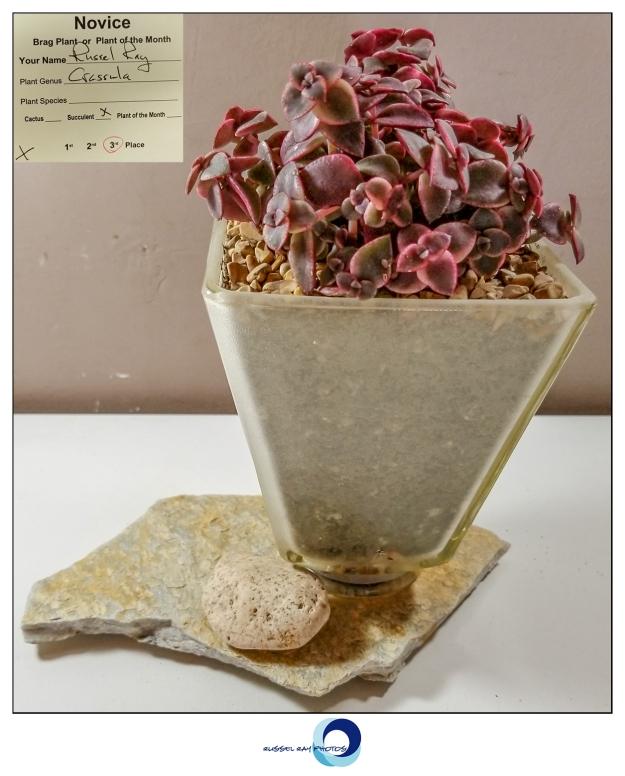 3rd place succulent Crassula
