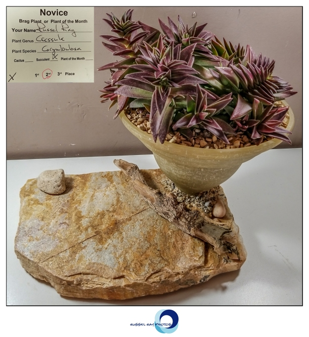 2nd place succulent Crassula corymbulosa