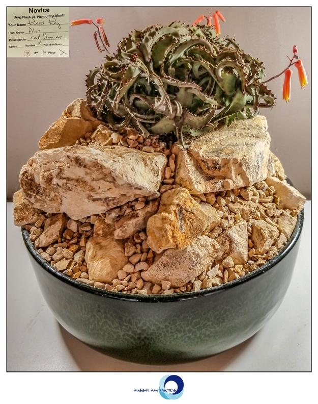 1st place succulent Aloe castilloniae pcss