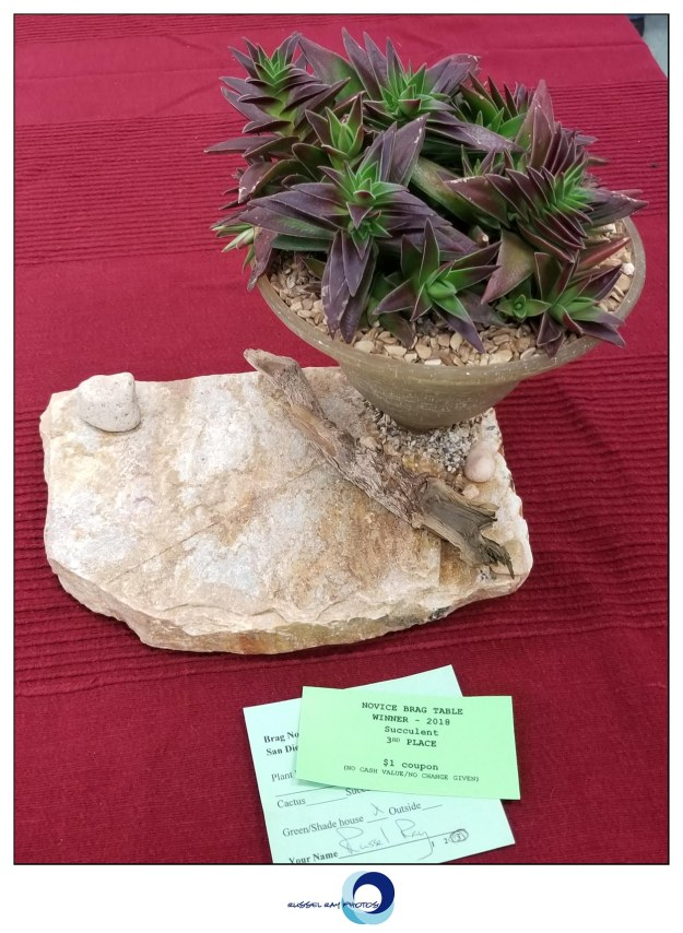 3rd place, Succulent Novice, Russel Ray, San Diego Cactus & Succulent Society