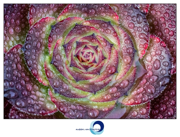 Aeonium with raindrops