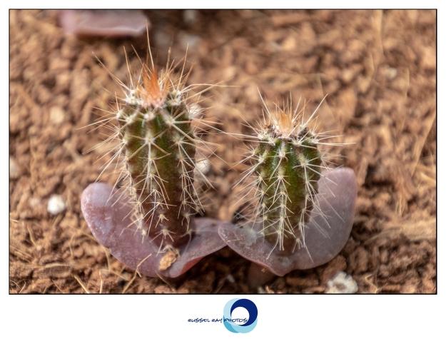 Cactus cotyledons