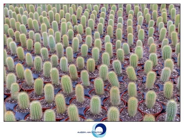 Western Cactus