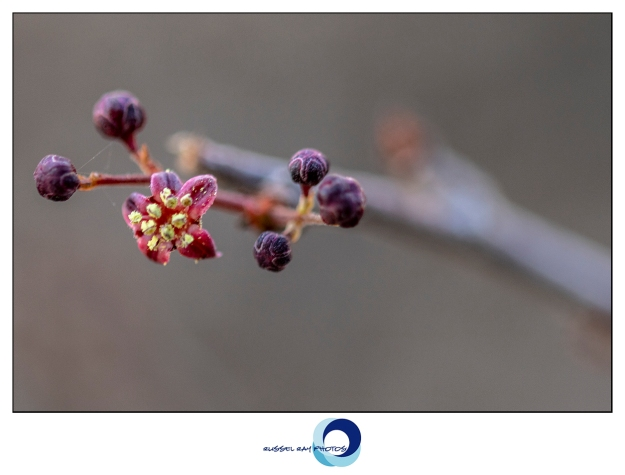 Operculicarya decaryii flower