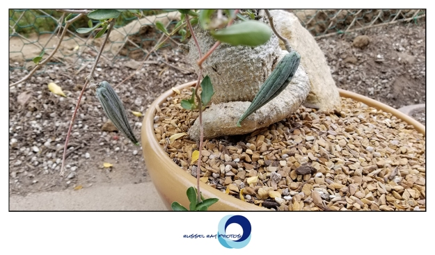 Fockea edulis seed pods
