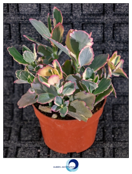 Kalanchoe fedstchenkoi variegata