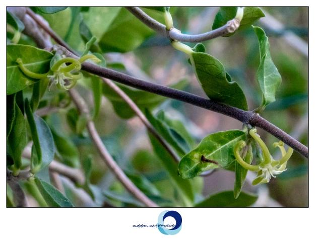 Fockea edulis flowers