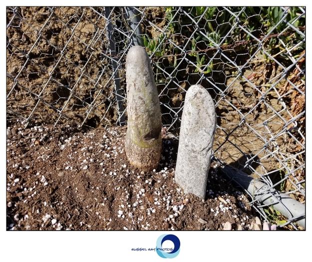 Lophocereus schottii cv. Big Penis Cactus