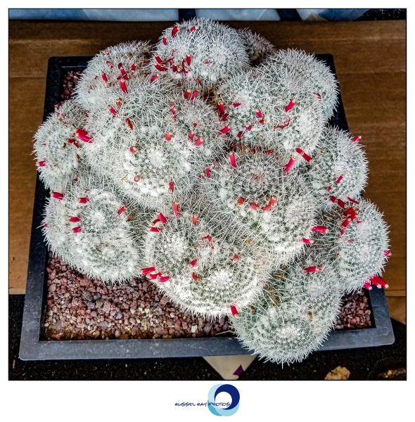 Mammillaria parkinsonii