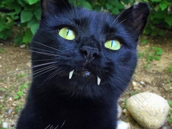 Dracula's cat