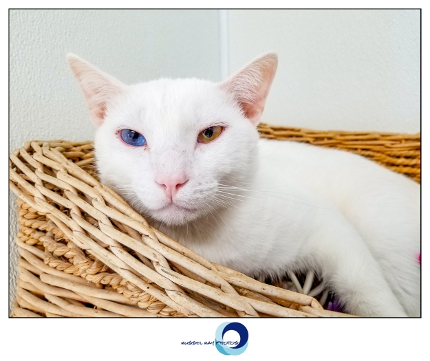 White cat with heterochromia