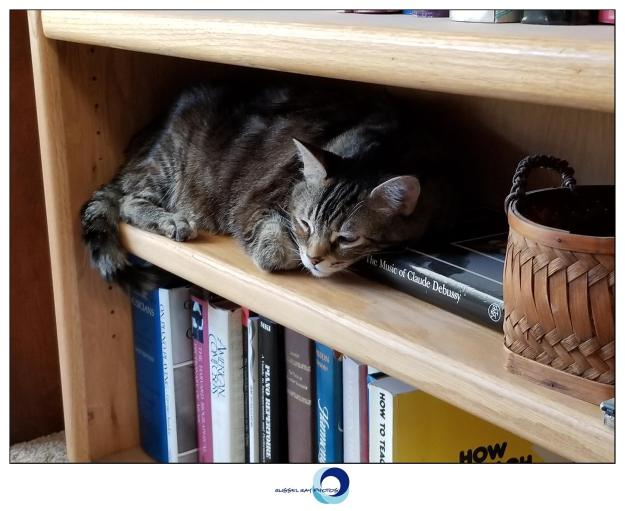 Zoey the Cool Cat on the bookshelf