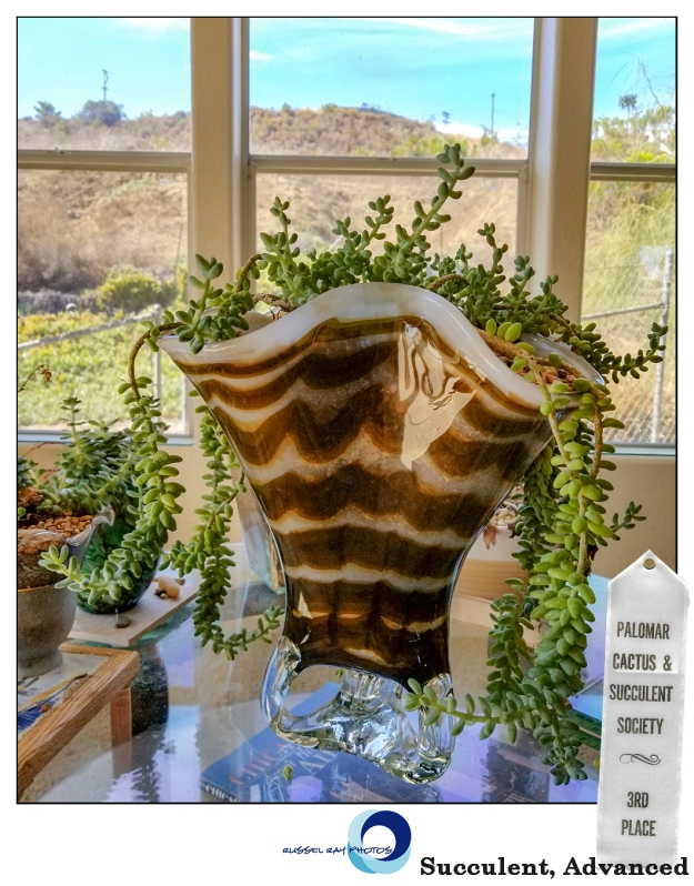 Sedum morganianum, third place, succulent, advanced, Palomar Cactus & Succulent Society, November 2018