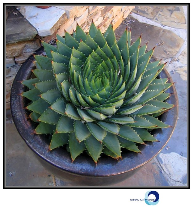 Aloe polyphylla - Spiral Aloe