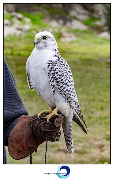 Gyrfalcon at Hawk Watch in Ramona CA on 1/5/19