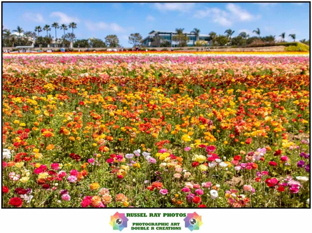 The Flower Fields in Carlsbad, California