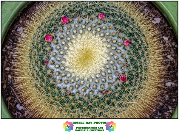 Mammillaria exhibiting Fibonacci influence
