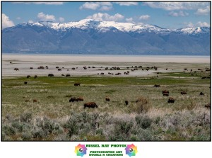 Buffalo on Antelope Island, Great Salt Lake