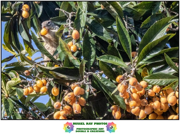 Ground squirrel eating loquats in the tree