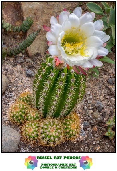 Flowers in Russel's cactus garden