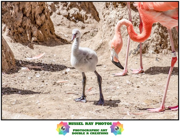 Flamingo chick at the San Diego Zoo on 6/9/19