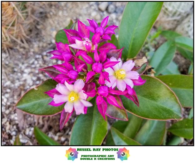 Pereskia grandiflora v. violacea