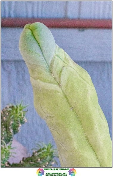 Lophocereus schottii cv, Big Penis Cactus