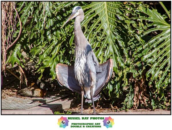 Great blue heron flashing